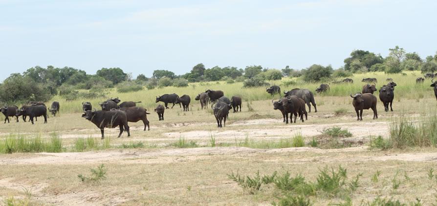 Uganda safari - African Buffaloes