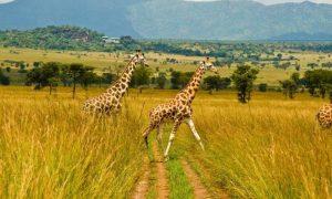 Kidepo Game Safari in Uganda